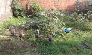 Free-to-roam birds